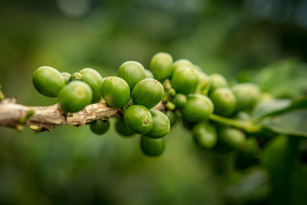 cafe verde perder peso