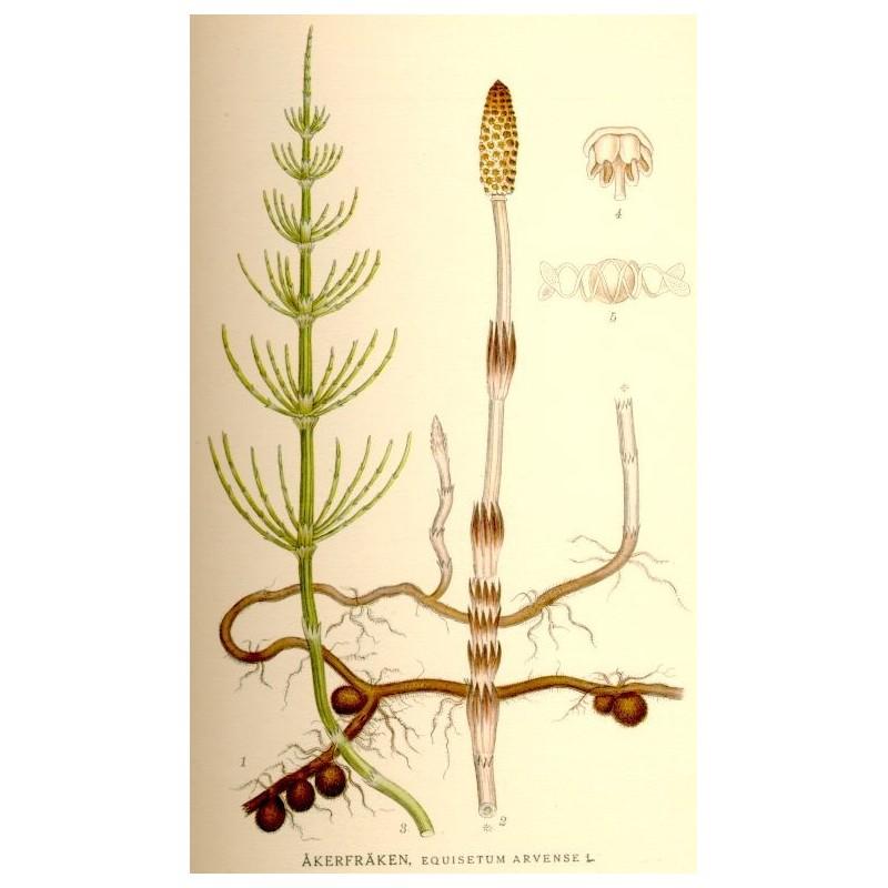 Partes de la planta cola de caballo
